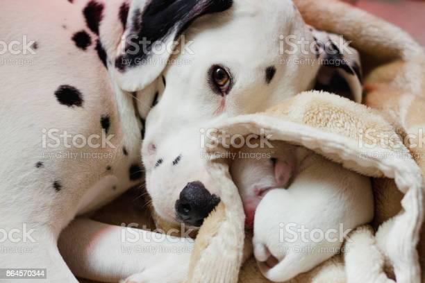 Dalmatian with newborn puppy picture id864570344?b=1&k=6&m=864570344&s=612x612&h=k lqhbod4llbnrvqti hubedci0c3ri wqzjz1sfuae=