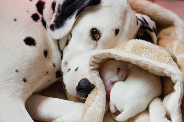 Dalmatian With Newborn Puppy Dalmatian dog is looking at the camera whilst lying down with one of her newborn puppies. newborn animal stock pictures, royalty-free photos & images