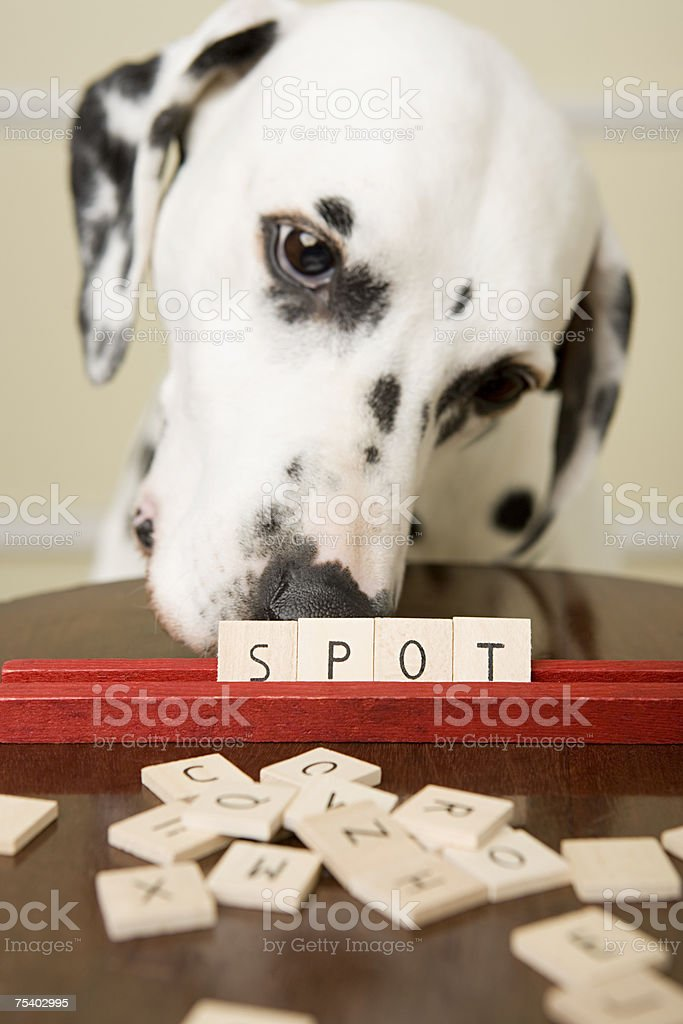 Dalmation and word game stock photo