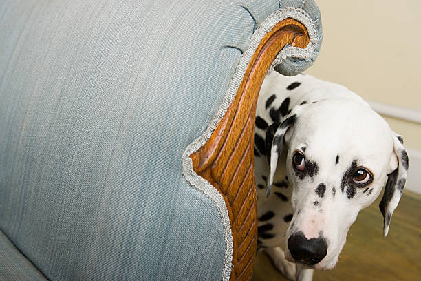 dalmation by a chair - fear stock photos and pictures