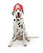 A cute spotte Dalmation dog wearing a red fireman hat sitting down on a white background.
