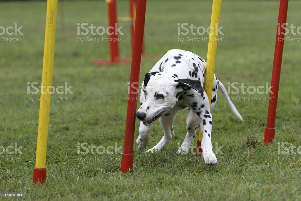 Dalmation royalty-free stock photo