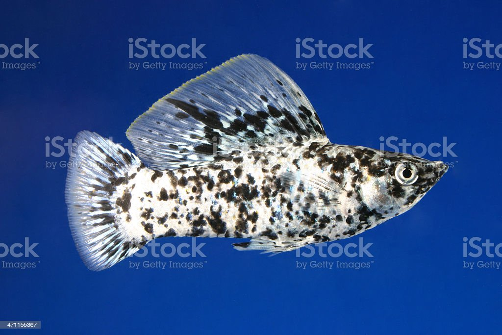 dalmation sailfin molly royalty-free stock photo