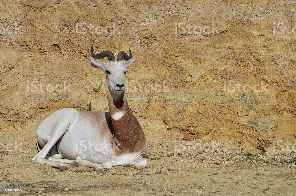 Dama gazelle lying on ground royalty-free stock photo