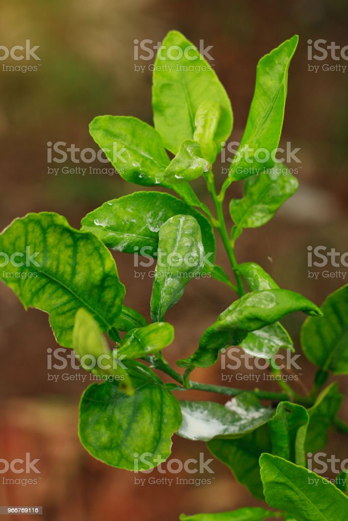 damage marked of Citrus Mealybug insect pest on lime leaf stock photo