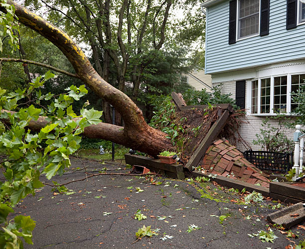 Damaged Sidewalk from Fallen Tree Uprooted by Tornado  fallen tree stock pictures, royalty-free photos & images