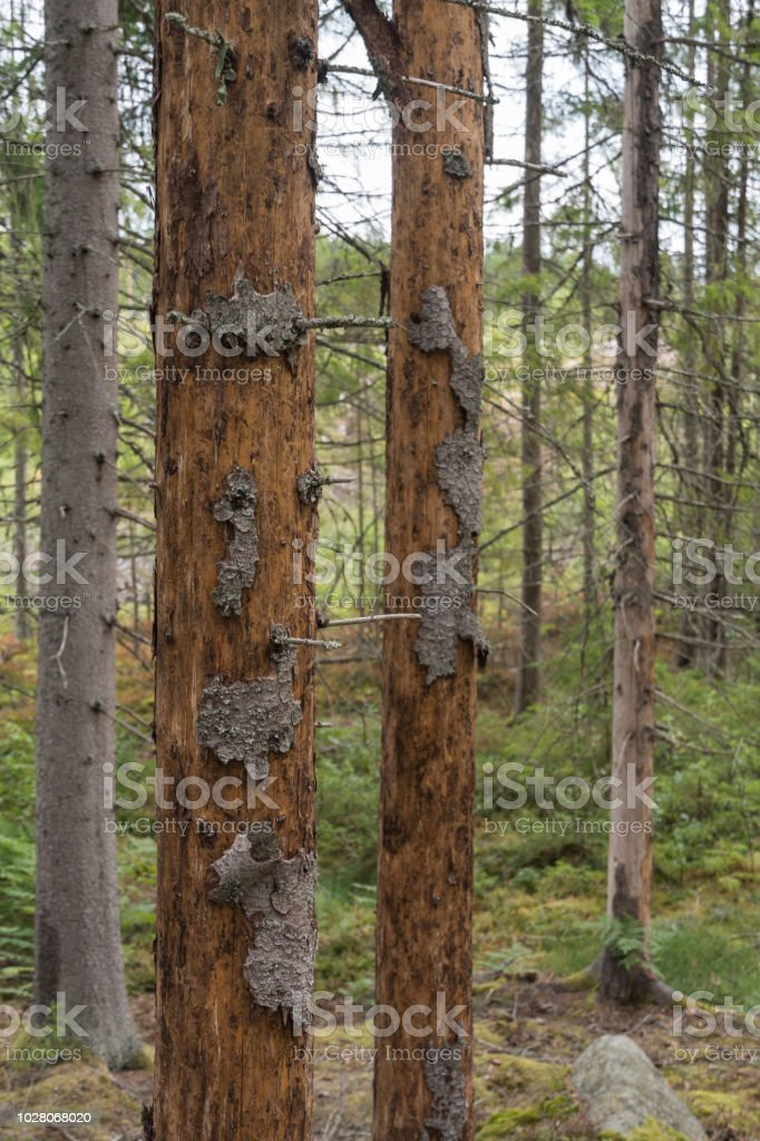 Damaged spruce trees stock photo