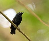 istock Damar Flycatcher, Ficedula henrici 1288049031