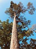 istock Damar Hitam Gajah Heritage Tree 1130191915