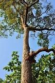 istock Damar Hitam Gajah Heritage Tree 1133295950