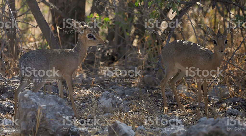 Damara Dik-Dik royalty-free stock photo