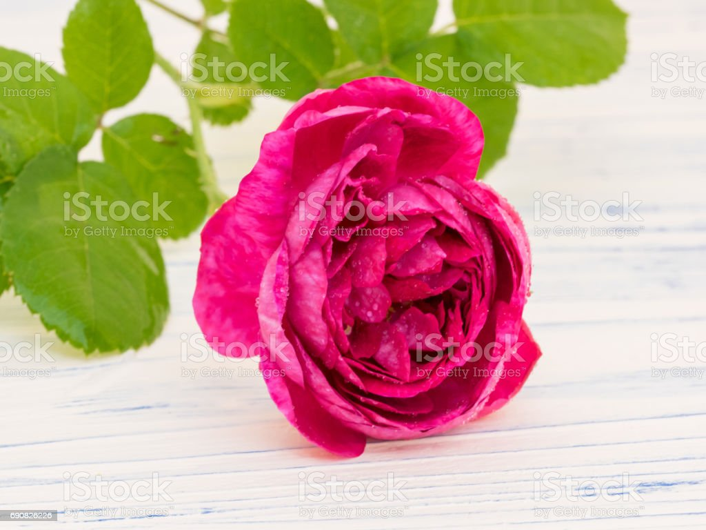 Damascus Rose stock photo