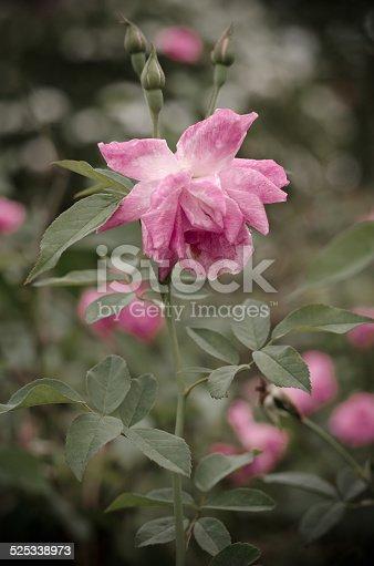 155139080istockphoto Damask rose 525338973