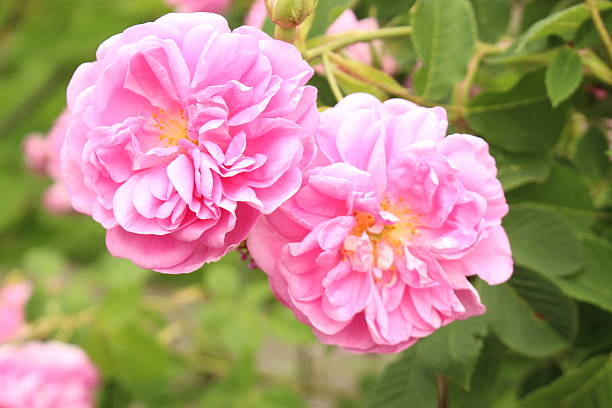 Damask Rose - Rosa x Damascena stock photo
