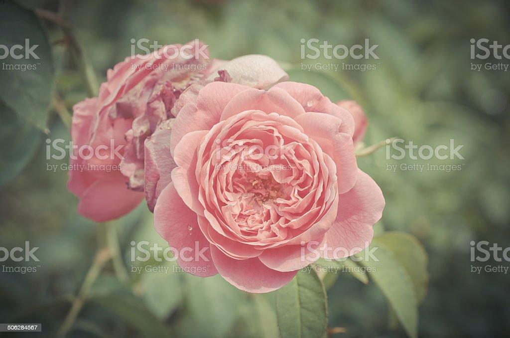 Fleur Rose De Damas Vintage Photos Et Plus D Images De Arbre En