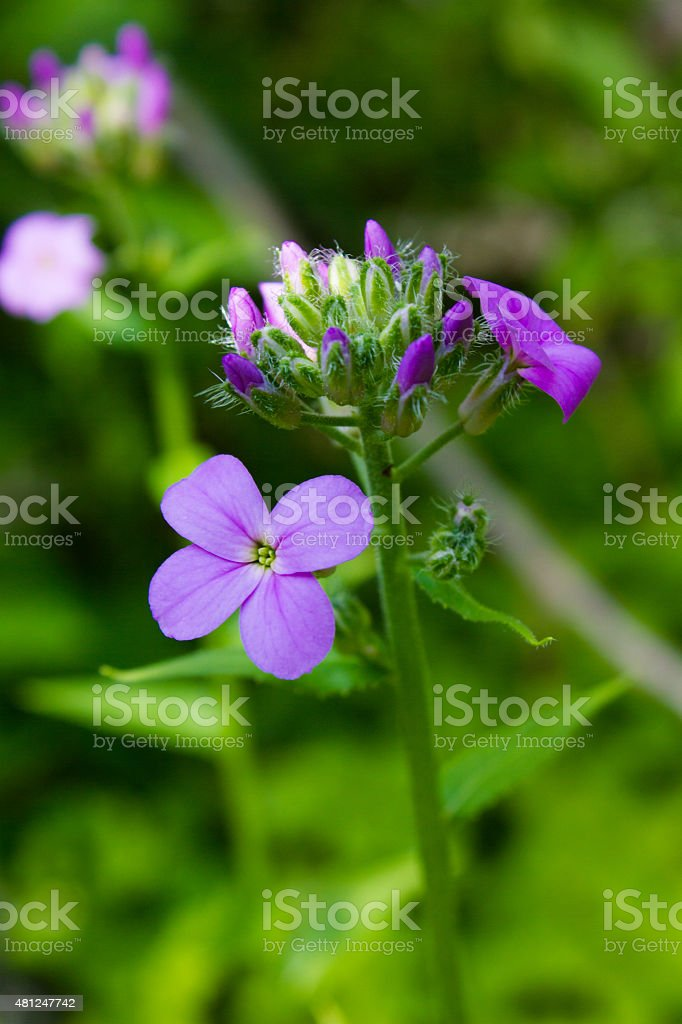 Dame's Rocket Flower royalty-free stock photo