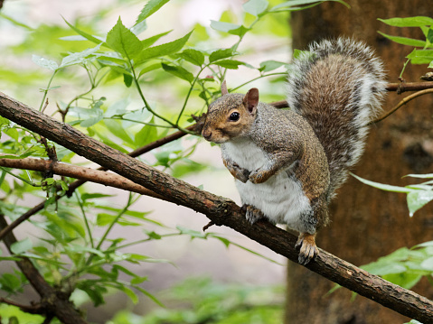 A grey squirrel (Sciurus carolinensis) sat on a branch in a tree on a dizzly afternoon