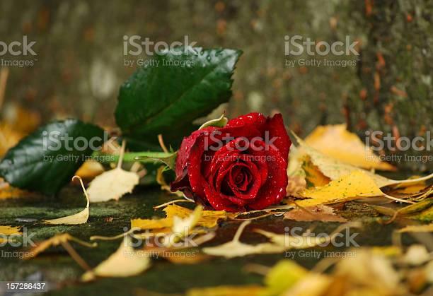 Damp rose picture id157286437?b=1&k=6&m=157286437&s=612x612&h=ox29voaukfmxabx8hvtevbgbuedifopsmsbisqzwxwi=