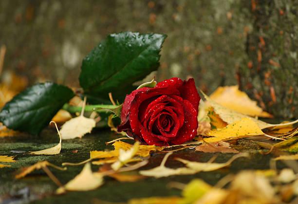 Damp rose picture id157286437?b=1&k=6&m=157286437&s=612x612&w=0&h=pjyqcwigt ncf0fqhh 36pcsiboqpaivbavdch rt0i=