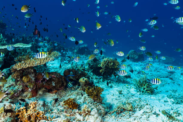 Damsel Fish Paradise, Shallow Reef at Moyo Island, Indonesia stock photo