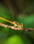 Damsel fly close up on a small twig