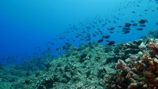 Damselfish schooling undersea, Japan stock photo