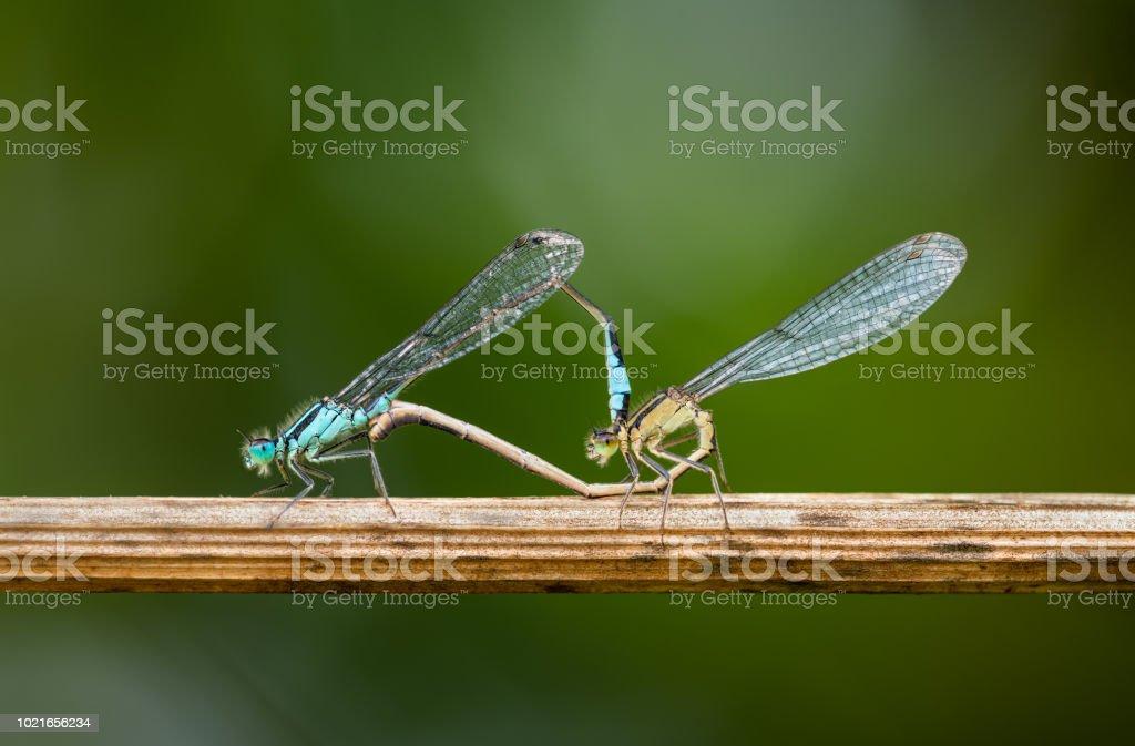 Damselflies Mating. stock photo