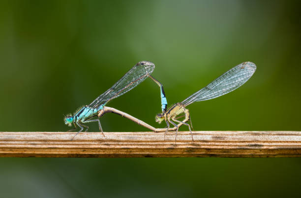 Damselflies Mating. stock photo