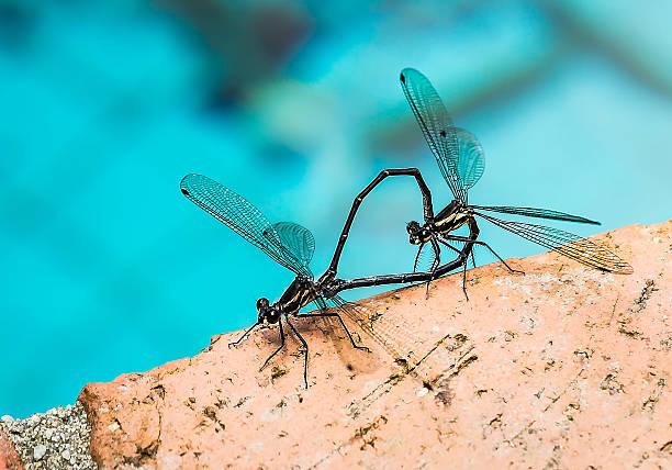Damselflies mating stock photo