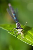 The Variable Damselfly or Variable Bluet (Coenagrion pulchellum) with prey in the Netherlands in spring