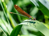 Closeup of a small red-eyed damselfly Erythromma viridulum perched in a forest. A blue specie with red eyes.