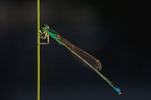 Full body photo of damselfly with golden ligh