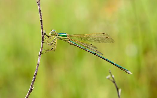 Damselfly held by a dry branch