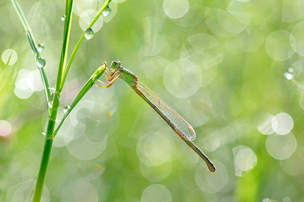 damselfly in fresh morning of dew. - omg stock photos and pictures