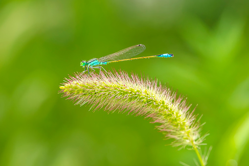 A damselfly hanging on a blade of grass against a green background