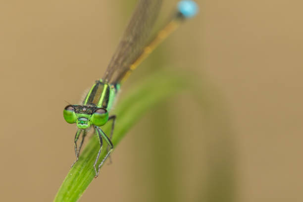 Damselfly on green leaves, blurred background , Close-up of green damselfly. stock photo