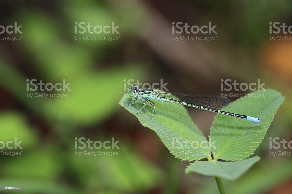 Damselfly on leaf royalty-free stock photo