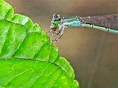 Damselfly on the leaf