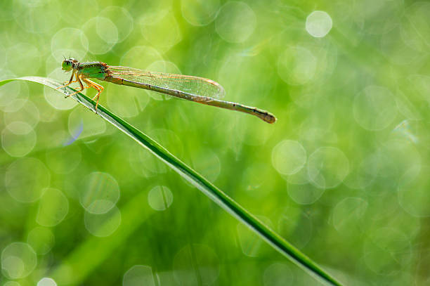 damselfly with twinkle dews - omg stock photos and pictures