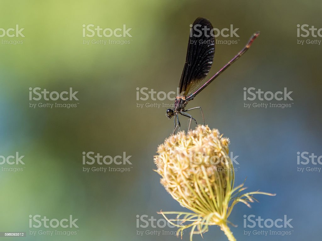 Damselfly zygoptera on a flower against colorful background royalty-free stock photo