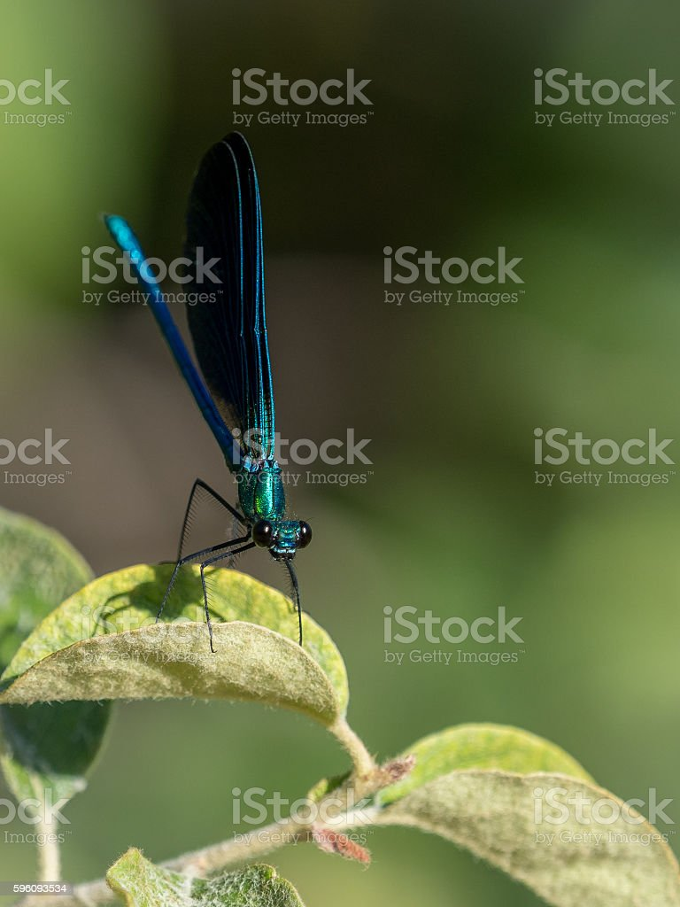 Damselfly zygoptera with big eyes (front view) royalty-free stock photo