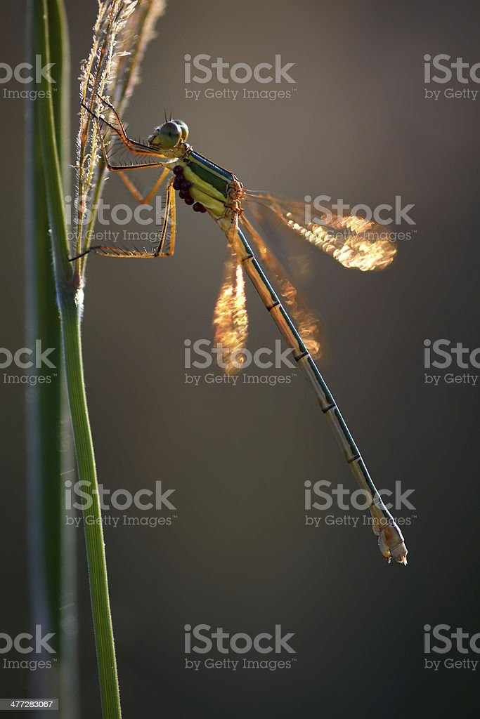 Damselfy on a stem, lateral view royalty-free stock photo
