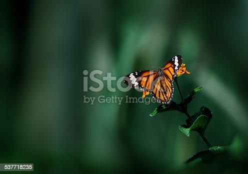 istock Danaus genutia on wild flower with dark green background 537718235