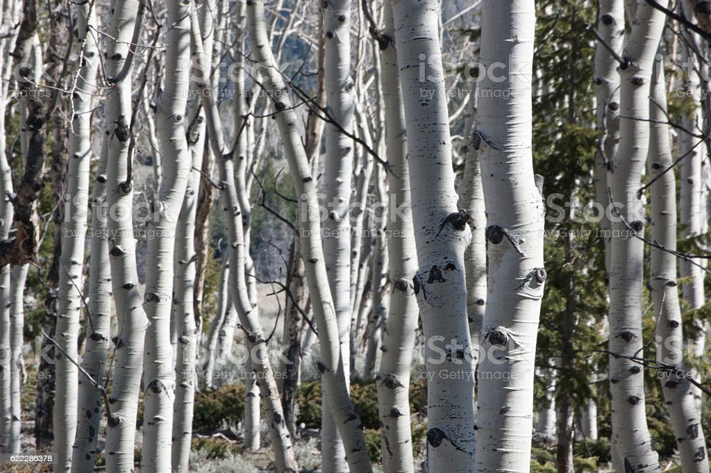 Dancing Aspens waiting for Spring to Arrive stock photo