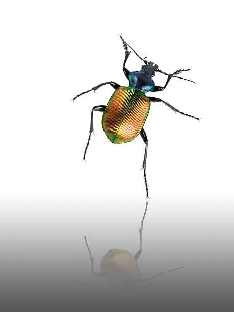 Escarabajo de baile - foto de stock
