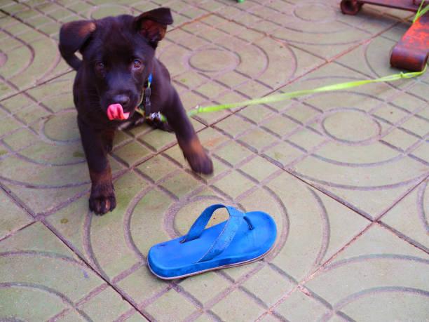 zwarte pup met gebeten blauwe slipper dansen op voetpad verdieping - dog looking at floor path stockfoto's en -beelden