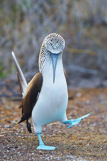 Dancing Booby stock photo