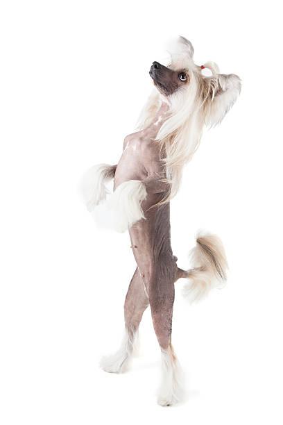 tanz chinesischer schopfhund - chinesische schopfhunde stock-fotos und bilder