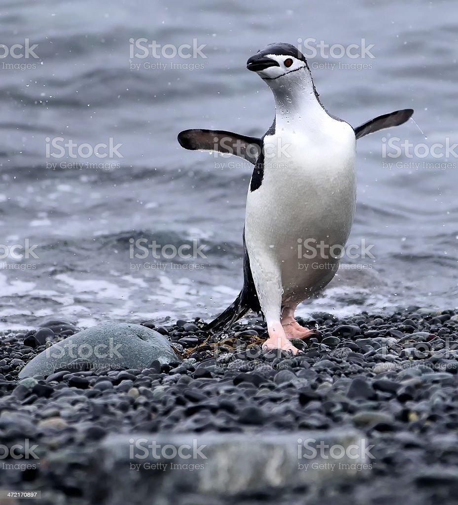Dancing Chinstrap Penguin stock photo