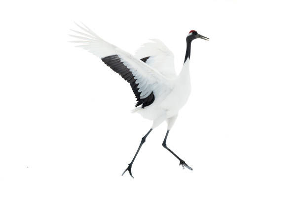 Dancing Crane. The ritual marriage dance. Isolated on white. stock photo